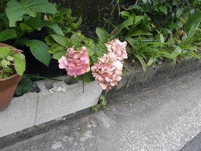 Asagao1_r