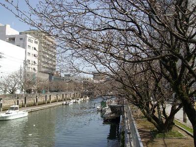 Horikawasakuratubomi_r