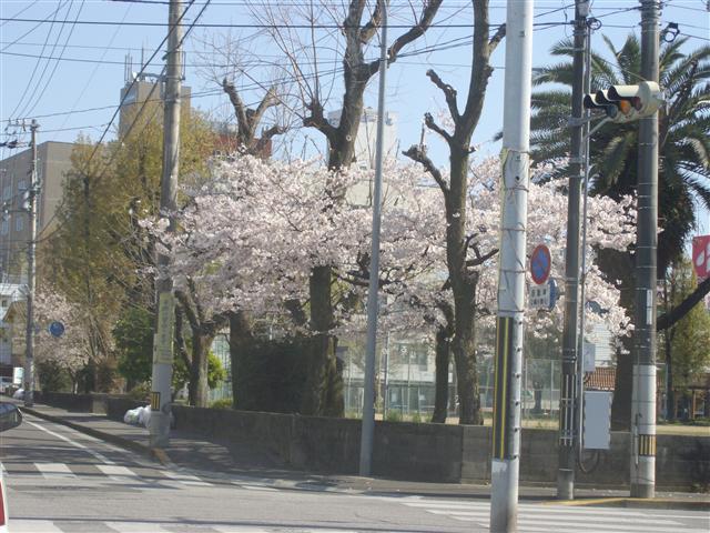 Iaoyagikouensakura01_r