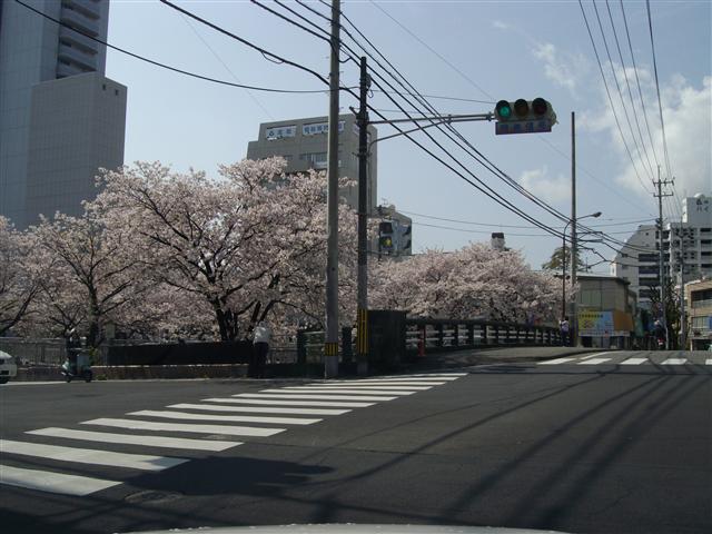Horikawasakura001_r