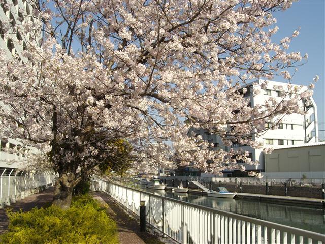 Nakanoshimasakura2003_r_2